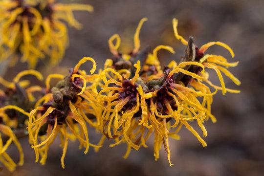Flowering Chinese witch hazel (Hamamelis mollis) branch