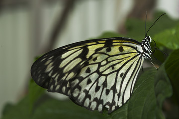 Marbled White Butterfly on leaf