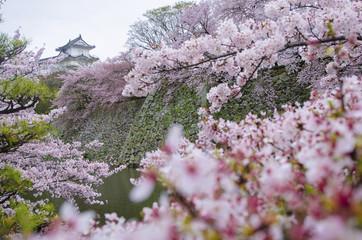 Himeji-jo Castle seen through cherry blossom