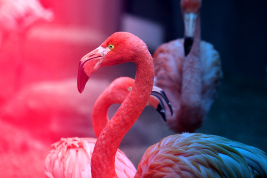 Photos beautiful red flamingo