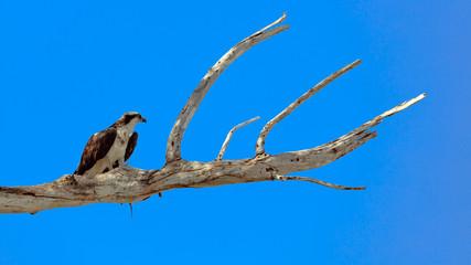Osprey (Pandion haliaetus) perched on an old tree, Florida, USA