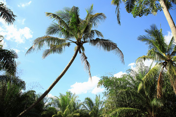 Nature coconut trees with blue sky and clound as nature background or print card