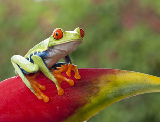 Agalychnis callidryas (red-eyed tree frog) sitting on a heliconia flower in costa Rica