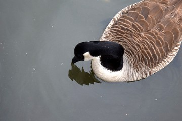 Goose looking at its reflection