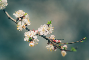 branch of blossoming apricot tree as a symbol of the coming spring. toned picture and selective focus
