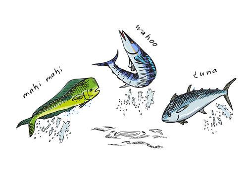 Marine fish. Mahi-Mahi, tuna, Wahoo