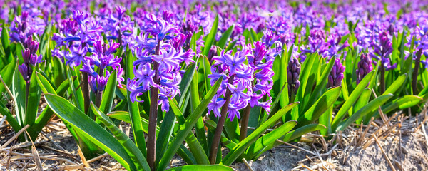 Spring background with vibrant closeup purple lilac hyacinth flowers on the field