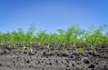 Gemüseanbau - junge Fenchelpflanzen auf dem Acker