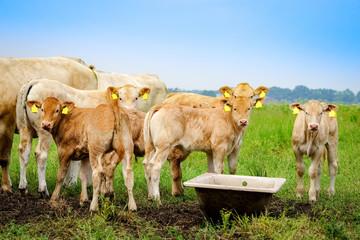 Fototapete - Rindvieh - Weidehaltung, Kühe und Kälber auf einer Wiese