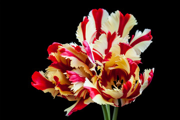 Flaming Parrot tulips on black, floral wallpaper