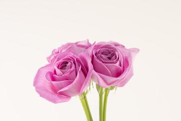 아름다운 분홍장미