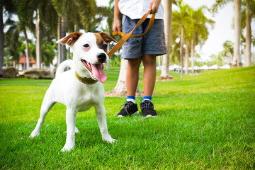 jack russell dog with owner and leather leash ready to go for a