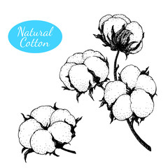 Vector set of hand drawn cotton plant. Branch with flowers.