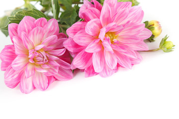 Pink dahlia flowers isolated on white background