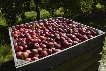 Bulk of Apples In the Wooden Box under Sunlight