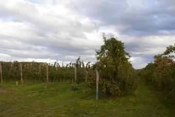 Apple Farm in New Zealand