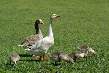 Family Geese. Geese are waterfowl belonging to the tribe Anserini of the family Anatidae. This tribe comprises the genera Anser (the grey geese), Branta (the black geese) and Chen (the white geese).