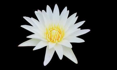 isolate white lotus on black background