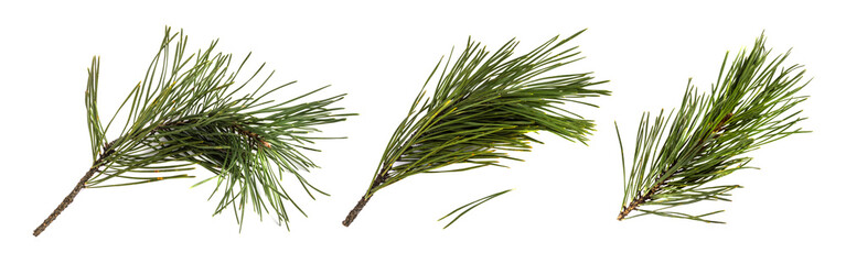 Pine branch or twig isolated
