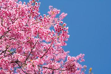 SAKURA , Amazing pink flowers (sky background)