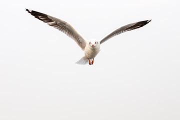 Flying seagull on white sky