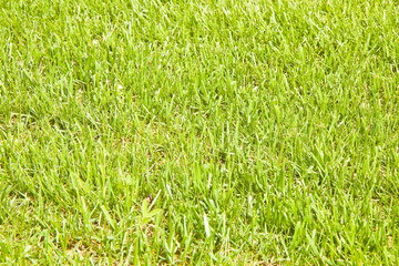 Detail of a beautiful field of cultivated fresh grass