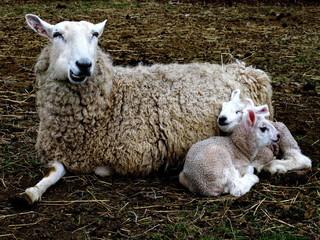 Lambs snuggle mama