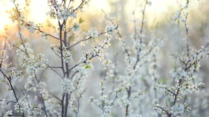 Klistermärke - Spring blossom. Beautiful blooming trees in orchard, spring flowers. Springtime. Video of a peach flower blooming close up. Full HD 1080p