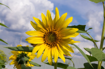beautiful bright sunflower close-up against blue sky with white Cumulus clouds