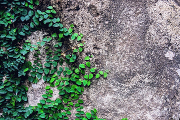 Green ivy climber on the concrete wall background