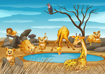 Giraffes and lions by the pond