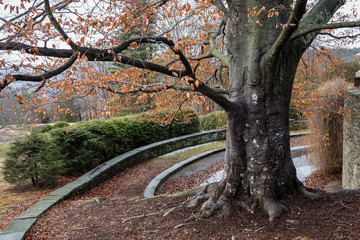 Very old American beech tree in front of terraced and landscaped stone retaining wall on a mild winter day at Grey Towers National Historic Site in Milford, Pennsylvania