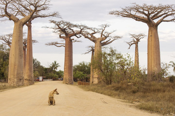 Photo sur Plexiglas Baobab Baobab Alley in Madagascar, Africa. Dog staying on baobab alley.