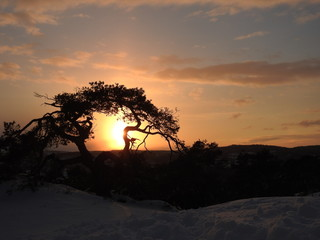 Silhouette of an old pine tree