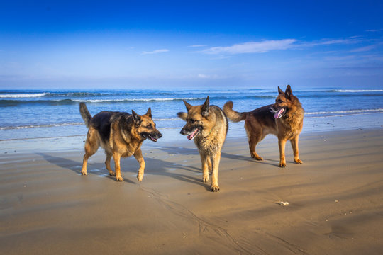 Pack of three German shepherd dogs playing on the beach, Cape Town, South Africa
