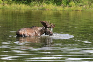 A bull moose in the lake