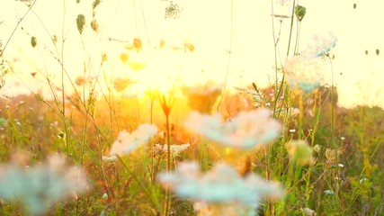 Fotoväggar - Summer field meadow flowers. Beautiful nature scene with blooming flowers in sun flare. Sunny day. Spring. Summer camomille background. Springtime. Slow motion. Full HD 1080p