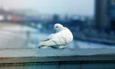 Photos white dove