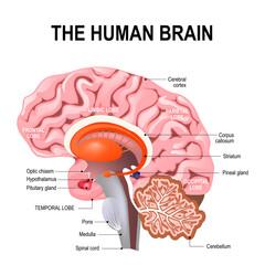 detailed anatomy of the human brain.