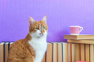 Books background. Red and white cat close up. Many different books on violet wall. Cup of tea on books stack.