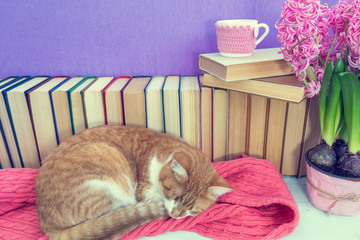 Red and white cat sleeping on pink scarf.  Many different books on violet wall. Cup of tea on books stack. Flowers pink hyacinth. Cozy home concept. Toned