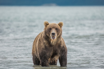 Bear looks for fish in water