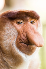 Portrait of fabulous long-nosed monkey