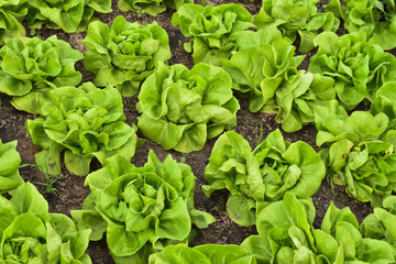 Butterhead Lettuce salad plantation, green organic vegetable lea