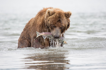 The bear was caught and eat fish salmon