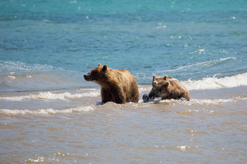 The family of bears, mother caught a fish