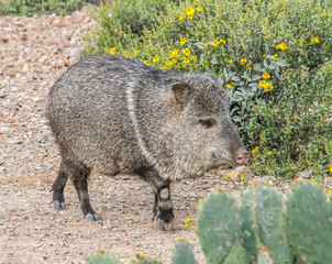 Javelina at Arizona-Sonora Desert Museum, Tucson, Arizona