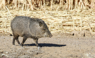 Javelina at Bosque del Apache National Wildlife Refuge, San Antonio, New Mexico