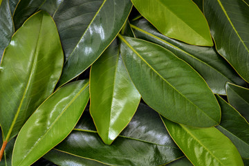 Magnolia Leaves Background