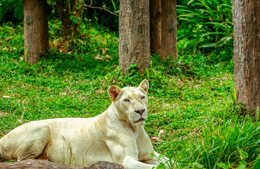 Albino lion sleep on green grass backgorund in zoo